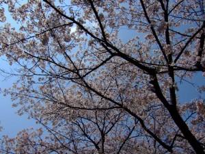 尾根緑道の桜1