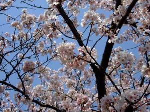 尾根緑道の桜2