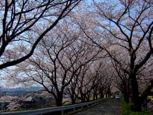 尾根緑道の桜3
