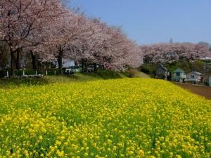 尾根緑道の桜4